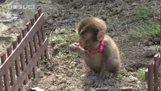 getlinkyoutube.com-保護された野生の子ザル 動物保護団体へ(宮崎県日南市)