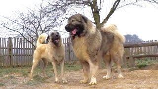 getlinkyoutube.com-JOZO DOGS - Kangal & Caucasian Ovtcharka
