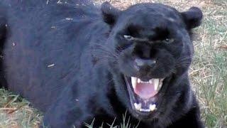 getlinkyoutube.com-African Black Leopard In Heat - Cat Growls Snarls Displays Runs & Sprays At Big Cat Breeding Center