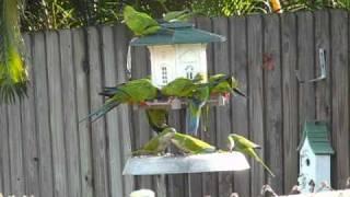 getlinkyoutube.com-Wild Parrots in Florida