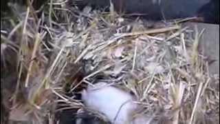 """Осмотр гнезд на 10ый день после начала окрола Клетка для кроликов """"Искусственная нора - вольера"""""""