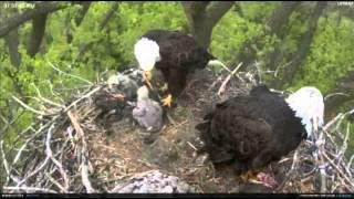 getlinkyoutube.com-Minnesota Bald Eagles bring cat? to nest and then a fish.. 4/29/12