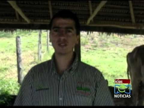 chimniaTres casos de partos múltiples llaman la atención en la ganadería colombiana.
