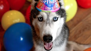 getlinkyoutube.com-Mishka the Talking Husky's Surprise 13th Birthday Party!