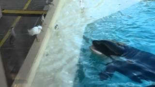 getlinkyoutube.com-Orca catches on live bait | Косатка ловит на живца