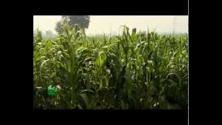 getlinkyoutube.com-Baby corn Farming (वेबी काँर्न की खेती) In Baatein Kheti Ki - On Green TV