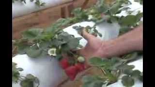 Cultivo de Morango Fora do Solo em Turuçu/RS