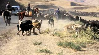 getlinkyoutube.com-A dogfight between Tajik shepherdbdogs from two different flocks