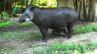 getlinkyoutube.com-Baby Tapir Playing in Peru