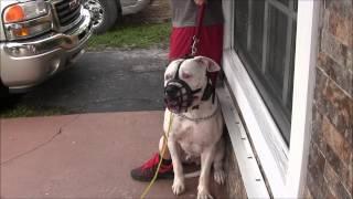 getlinkyoutube.com-(Part 3)  Aggressive American Bulldog has lost his mind! RED ZONE DOG BITES THE MIAMI DOG WHISPERER