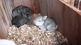 getlinkyoutube.com-Meat Rabbit Update 4-2-11