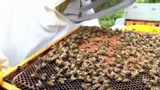 getlinkyoutube.com-Expert beekeeping tips with Robin Dartington