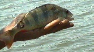 getlinkyoutube.com-Рыбалка на живца. Народная снасть.