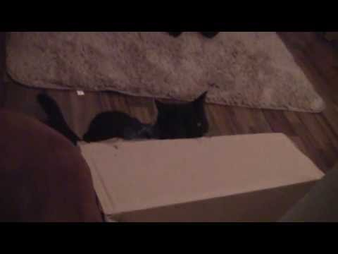 Asrael cat loves to eat boxes - asrael katze liebt kartons essen