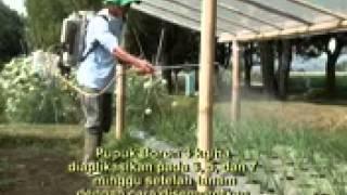 getlinkyoutube.com-Teknik Produksi Biji Botani Bawang Merah