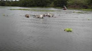 getlinkyoutube.com-Swimming Cows in the Amazon