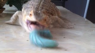 Bearded Dragon Eats Hornworm :(