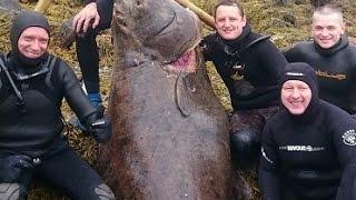 getlinkyoutube.com-BIG HALIBUT Russians  killed Norwegian monster
