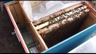 getlinkyoutube.com-Cum cumparam familii de albine bune? Cum organizam cuibul mai eficient? Dezvaluim Secrete Apicultura