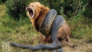 getlinkyoutube.com-10 CRAZIEST Animal Fights Caught On Camera