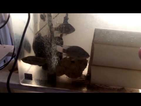 (1/4/2017) Tilapia Hatch - Day 2