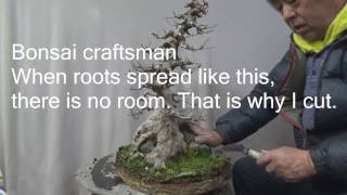 Maple Bonsai repotting. Long version because we explain how to repot.