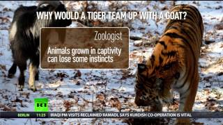 getlinkyoutube.com-Amur & Timur: 'Unusual' friendship between tiger & goat explained
