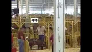 getlinkyoutube.com-Duroc Boars