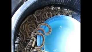 getlinkyoutube.com-2014年4月 縞蛇 シマヘビ 大量捕獲