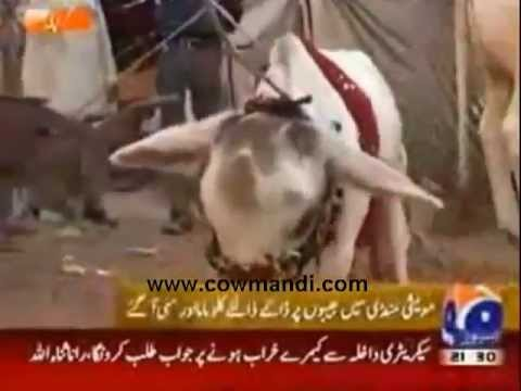 Karachi Big Cow http://video-hned.com/big+cow+in+karachi/