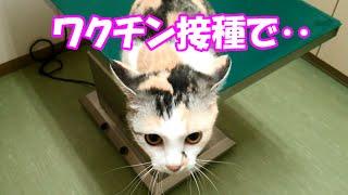 getlinkyoutube.com-愛猫、ワクチン接種で診察台からまさかの‥