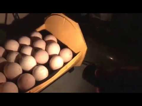 (4/8/2017) Candling First Turkey Eggs of 2017 - Duck Eggs Too