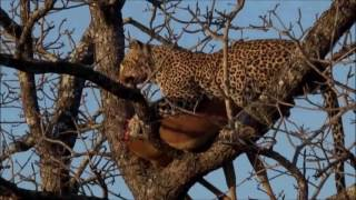 getlinkyoutube.com-Safari Live : Karula on a fresh kill goes and gets her cubs to eat as well Sept 02, 2016