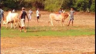 getlinkyoutube.com-Bull Fight