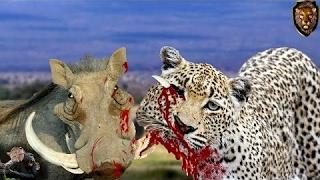 Leopardo melhor Predador vs javali , incrível  Luta de animais selvagens width=