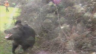 getlinkyoutube.com-Charge d'un sanglier de 97 kg / Momo Chasse