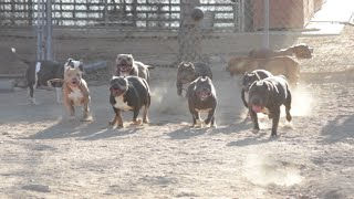 getlinkyoutube.com-Every day is National Dog day at The Bully Market