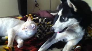 getlinkyoutube.com-Husky Bothers Sleepy Cat