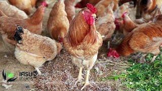 """getlinkyoutube.com-เศรษฐีเกษตร 10/10/58 : การเลี้ยง """"ไก่ตะเภาทองเกษตรศาสตร์"""""""