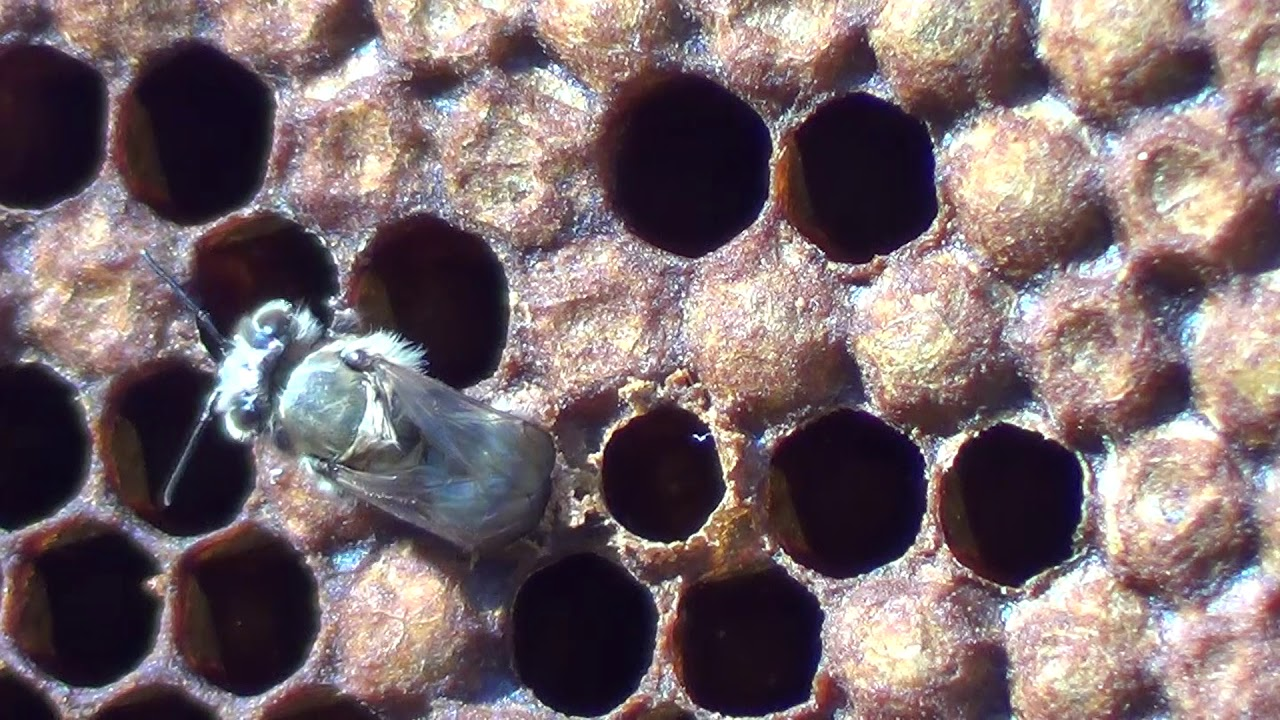 Izleganje mlade pčele radilice