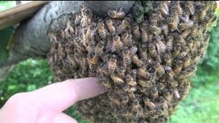 getlinkyoutube.com-Sticking HAND into BEEHIVE!!!