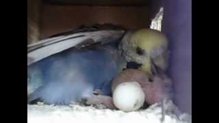 getlinkyoutube.com-♥♥♥Feeding Baby Love Birds♥♥♥