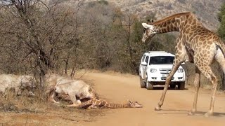 getlinkyoutube.com-Giraffe Tries Saving her Calf From Hunting Lions