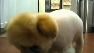 getlinkyoutube.com-Boo El Perro Mas Lindo Del Mundo~