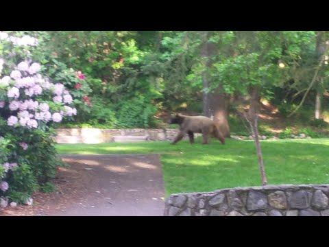 Bear Wandering in Park