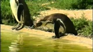 getlinkyoutube.com-Tots TV - Penguin