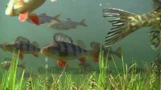 Pike hunting. Щука на охоте под водой. Fish cam. Lucio gedde hecht szczupak snoek luccio haug.