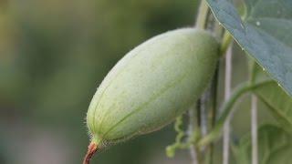Cultivation of Pointed Gourd (परवल की उन्नत खेती )