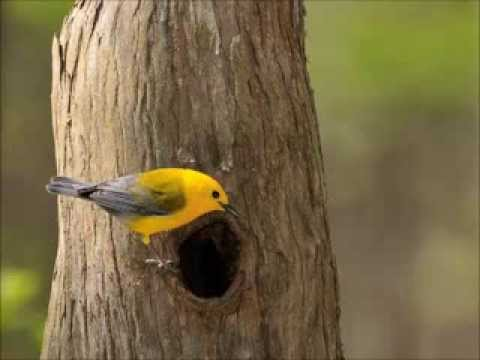 The Wonderful World of Warblers