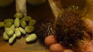 getlinkyoutube.com-How to grow rambutan tree from seeds